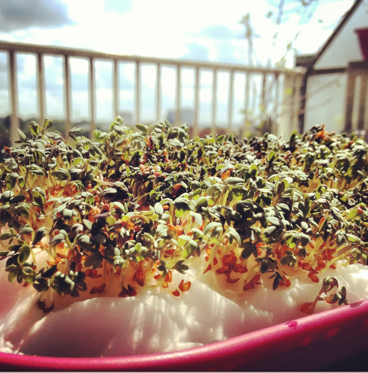 Planting the Cress